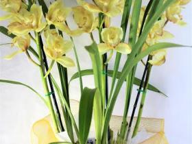cymbidium-orchid-three-spikes-yellow