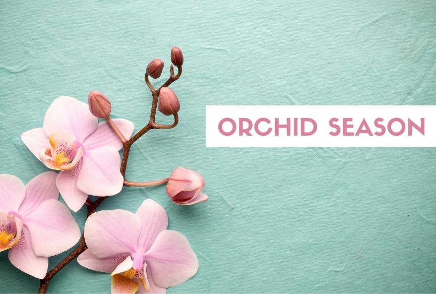 Cymbidium Orchids season is here!!