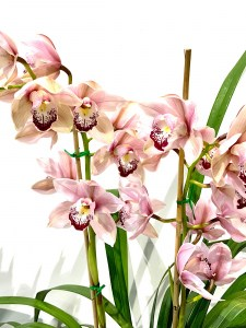Cymbidium Orchid Flowering Plant